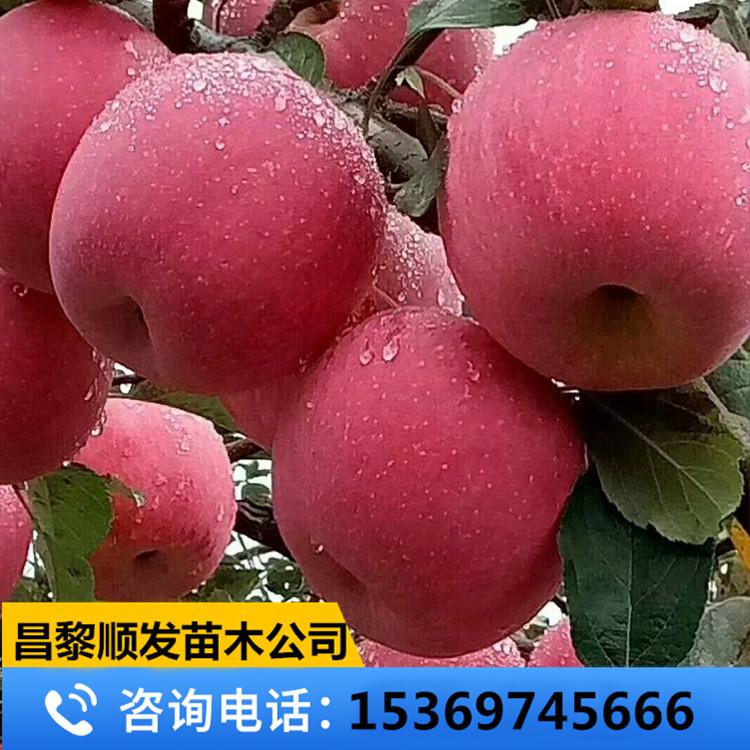 烟富6苹果苗