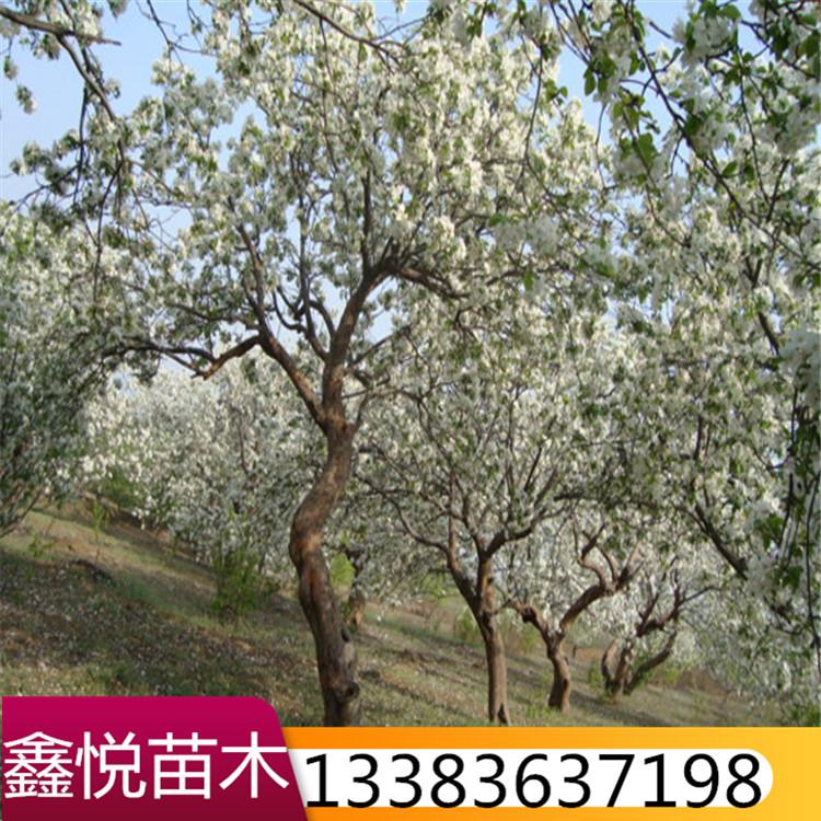 八棱海棠树厂家量大优惠规格齐全